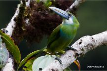 Blue-banded-toucanet