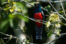 Blue-crowned-trogon