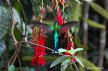 Long-tailed-sylph