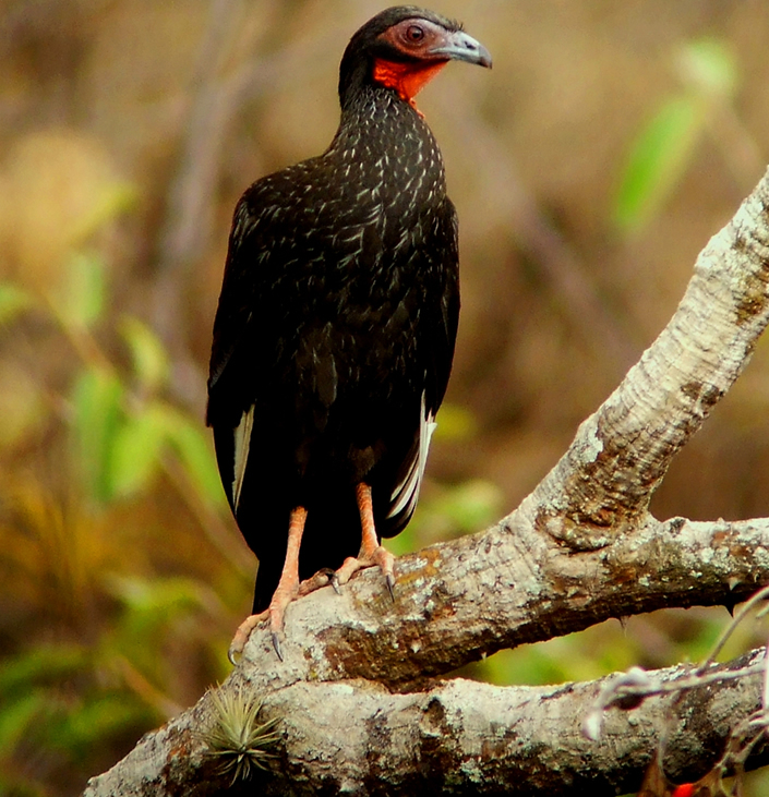 White-winged guan