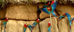 Macaw Clay lick