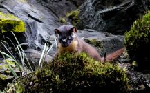 Long-tailed-weasel