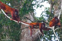 Red-Howler-Monkey