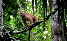 White-fronted-capuchin-manu-park