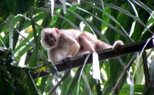 White-fronted-capuchin
